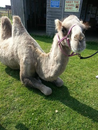 Oasis Camel Park: Sunny saying 'Hello', he's a lovely boy  :)