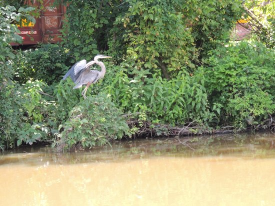 Richmond Canal Cruises: landing great blue heron