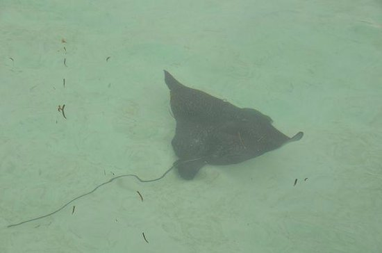 LUX* South Ari Atoll: sting ray at the water villar