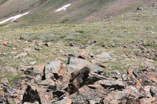 Wheeler Peak Wilderness Area: Una famiglia di marmotte vicino alla vetta