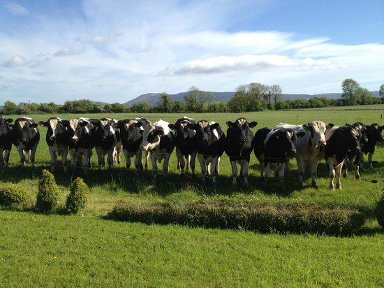 Flemingstown House: Cows with the Ballyhoura Mountains in the background - this is the view from the cottage!
