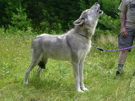Adirondack Wildlife Refuge : Cree howling to Zeebie