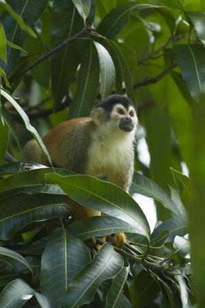 Casa Bambu Resort: Squirrel monkey on grounds