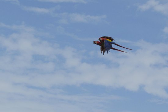 Casa Bambu Resort: Scarlet macaws fly over daily or land in the almond trees in front of the house