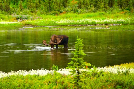 Camp Denali: Moose near the camp