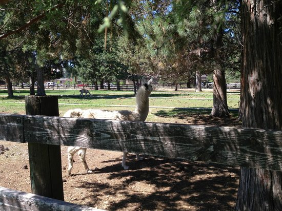 Best Western Ponderosa Lodge : Llamas in the front yard!