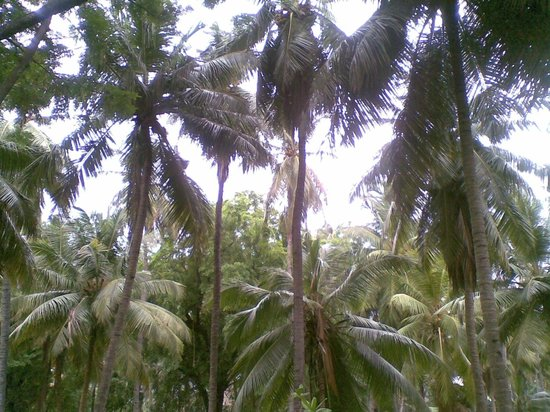 The Huddleston Gardens of Theosophical Society : Coconut trees