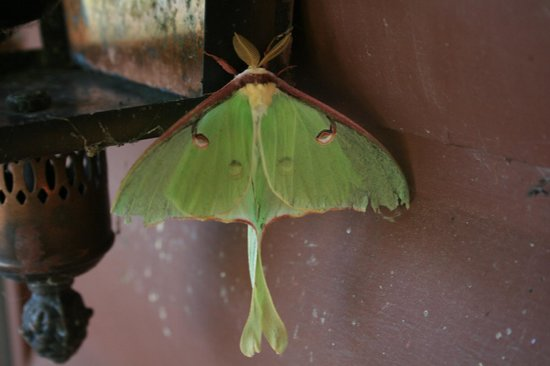 Rock Harbor Lodge: Luna Moth