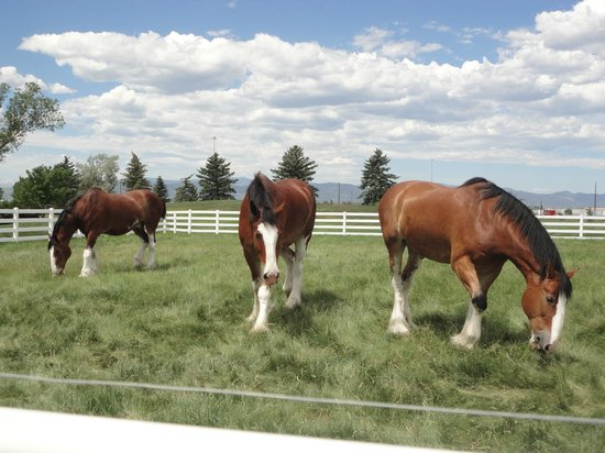 Budweiser Brewery Tours: Clydesdales