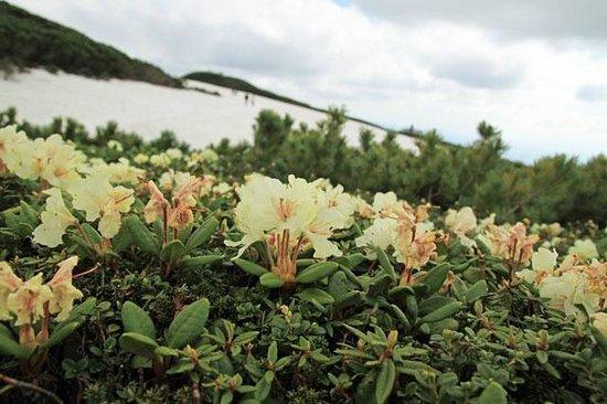 Mt. Asahidake : キバナシャクナゲ