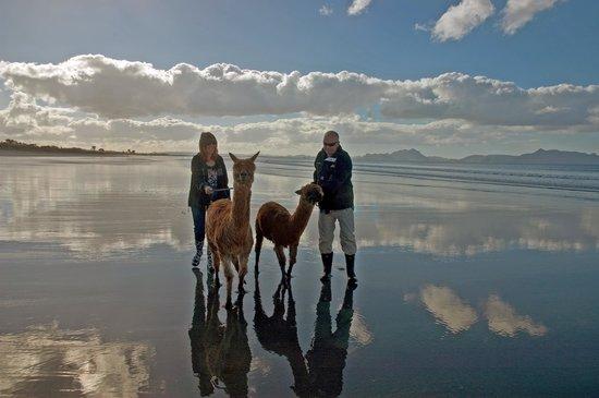 Alpaca Beach Walk: At one with Alpacas