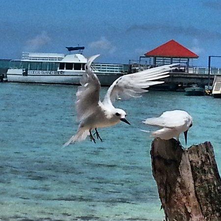 Cocos Island Resort: Beautiful white birds...