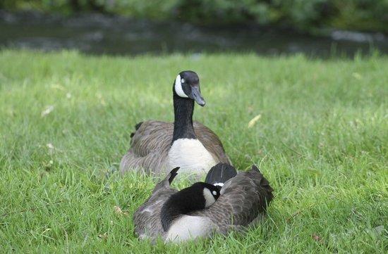 Polson Park: geese at the park