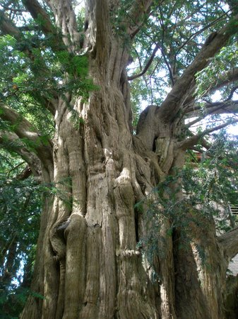 The Blacksmith's House: !,000 yr old yew tree,St Nicholas Church
