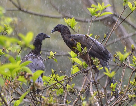 Cuffie River Nature Retreat and Eco-Lodge: Very wet Chachalacas in a rainforest downpoor.