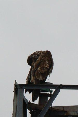 Gallant Adventures: juvenile bald eagle