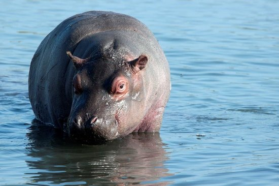 Heritage Day Tours & Safaris : Young Hippo while on a Boat Safari on the St Lucia Estuary