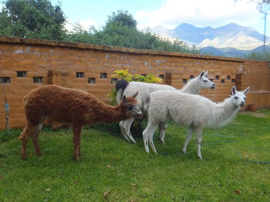 Hosteria-PapaGayo South: they have three llamas..and even more mountains!