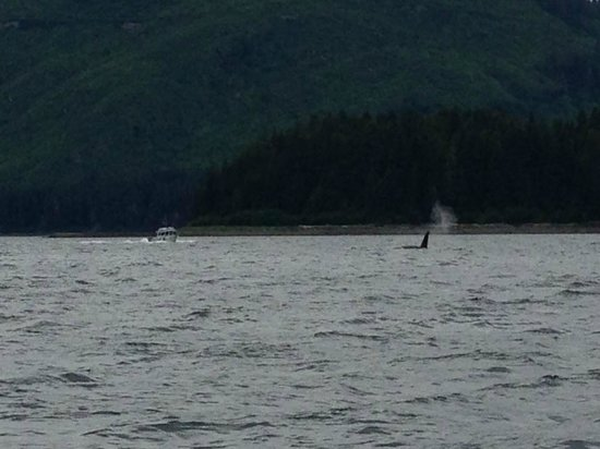 Ear Mountain Charters: A pod of Orcas on our way back to the boat. Bonus!