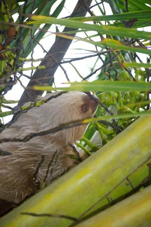 Dos Palmas Beach Cabinas: Sloth in our coconut tree