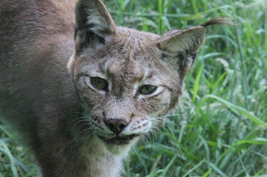 Curraghs Wildlife Park: Lynx