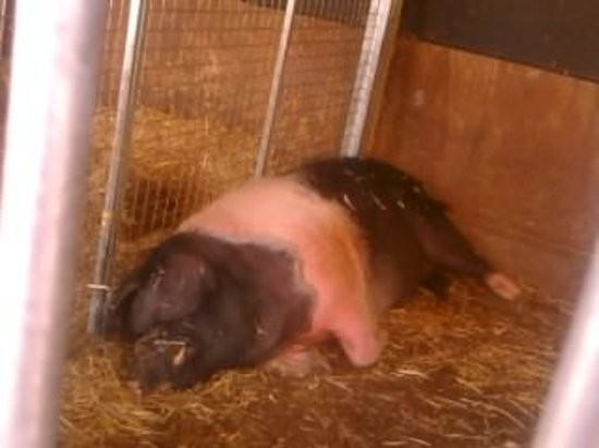 Lee Valley Park Farms: the big pig at the farms