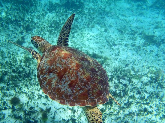 Petit St.Vincent: Gorgeous shot of a sea turtle while snorkeling at Tobago Cays