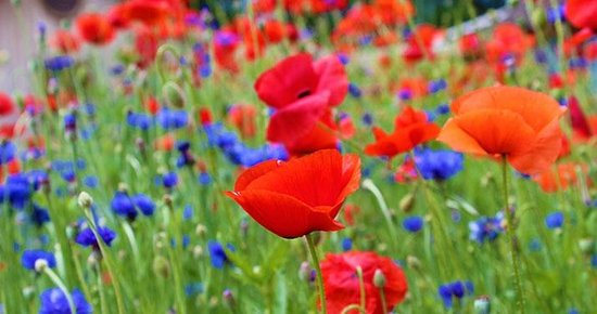 Grist Mill and Gardens at Keremeos: In the spring, poppies and cornwflowers greet you