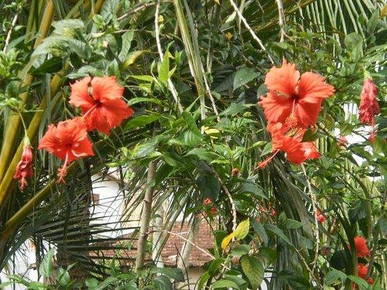 Pousada Tartaruga: Los ibiscus son los dueños del jardin en la posada Tartaruga