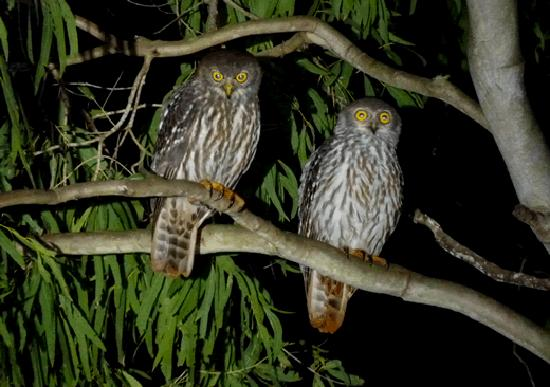 Barking Owl Retreat: Here is a pair of Barking Owls that were hunting near the homestead