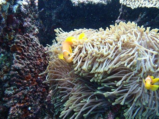 Vilamendhoo Island Resort & Spa: Local wildlife: clownfish