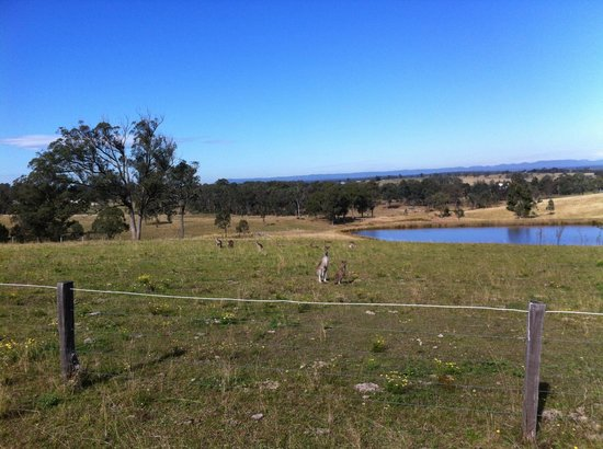 Hill Top Country Guest House: canguri in libertà durante la cavalcata- wild kangaroo during horse riding