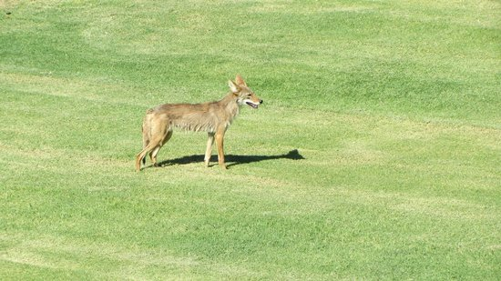 The Oasis at Death Valley: Coyote on site