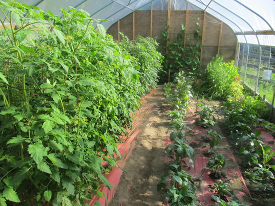 Fruitlands Bed and Breakfast: Share the bounty from our greenhouse. Fresh organic tomatoes!