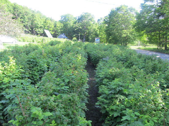 Fruitlands Bed and Breakfast: Rows and rows of organic raspberries.