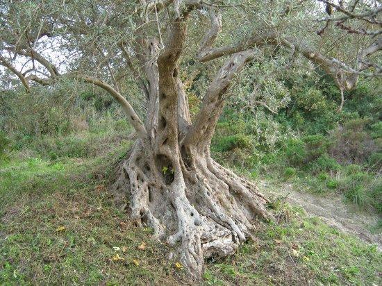 Mineo, antichi ulivi