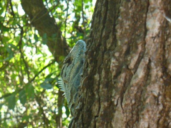 Cristal Azul: iguana subiendo un arbol