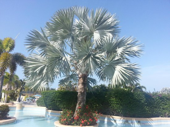 St. Kitts Marriott Resort & The Royal Beach Casino: Beautiful Tree by Pool