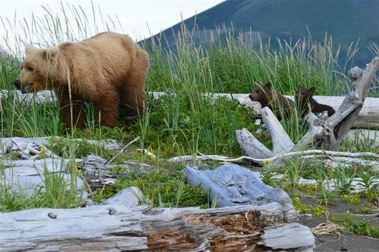 Bears clamming on the beach picture of alaska bear adventures homer