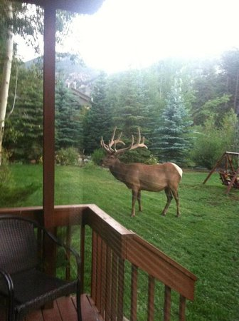 Aspen Winds on Fall River: Elk stopping by to say good morning.