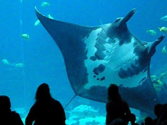 Aqu Rio Gigante Picture Of Georgia Aquarium Atlanta