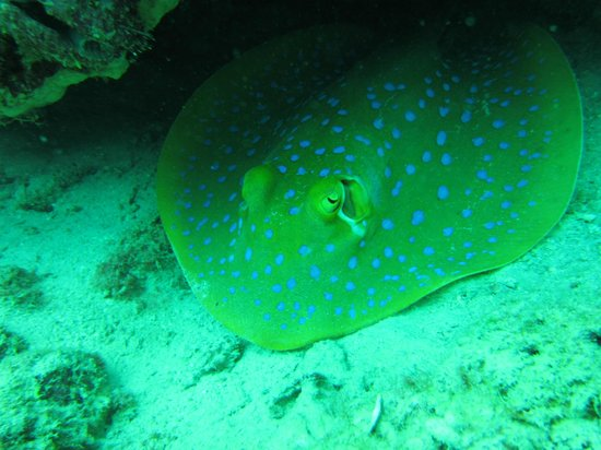 Seaventures Dive Rig: Stingray off Mabul