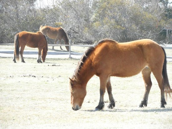 Assateague Island, VA: Assateague horses