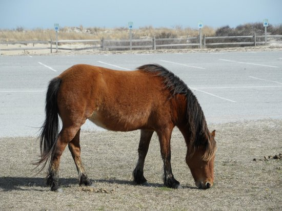 Assateague Beach : Assateague horses