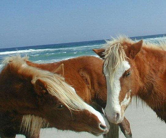Assateague Island, VA: kissin cousins?