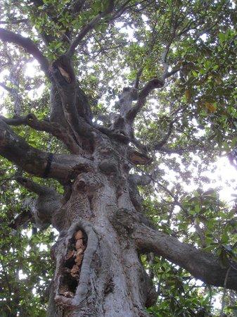 Biggest Magnolia Tree In Ar Washington Historic State Park Picture