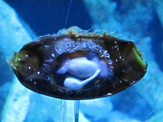 Mermaid 39 S Purse Shark Egg Case Picture Of Aquarium Of