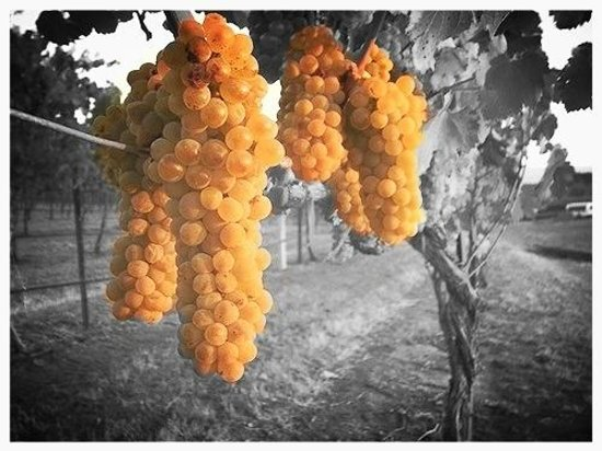 Madsen Family Cellars: Grapes hanging from the vine at one of our vineyard partners