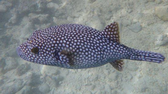 Four Seasons Resort Bora Bora: A white-spotted puffer during the Lagoon Tour
