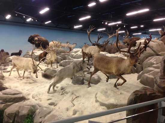 Rosenbruch Wildlife Museum: Arctic-Gray Wolf, Caribou